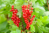 Red currants in the garden — Stok fotoğraf