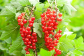 Red currants in the garden — Stock fotografie