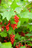 Red currants in the garden — ストック写真