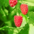 Raspberry — Stock Photo #27075375