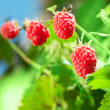 Framboise — Photo #27075383