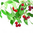 Cherries on a branch — Stock Photo