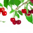 Cherries on a branch — Stock Photo #27075681