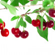 Cherries on a branch — 图库照片