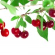 Cherries on a branch — Foto Stock