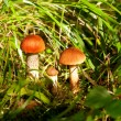 Stock Photo: Mushrooms in forest