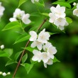 Beautiful blossoming branch of jasmine — Stock Photo #51086945