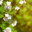 Beautiful blossoming branch of jasmine — Stock Photo #51086961
