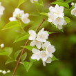 Beautiful blossoming branch of jasmine — Stock Photo #51086977