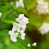 Beautiful blossoming branch of jasmine — Stock Photo