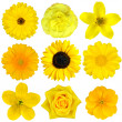 Постер, плакат: Collection of Yellow Flowers Isolated on White