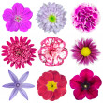 dokuz koleksiyon çeşitli pembe, mor, kırmızı çiçekler izole — Stok fotoğraf #13157811