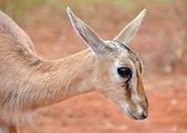 Cute Baby Antelope Head Closeup — Stock Photo