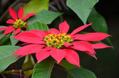 Big Red Poinsettia Flower in a bush — Stock Photo