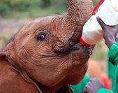 Baby elephant feeding from a bottle of milk — Stock Photo