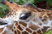 Close-up on Giraffe's face — Stock Photo