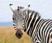 Closeup on zebra's head looking curiously — Stock fotografie