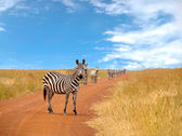 Herd of curious zebras looking and standing on the road — Stock Photo