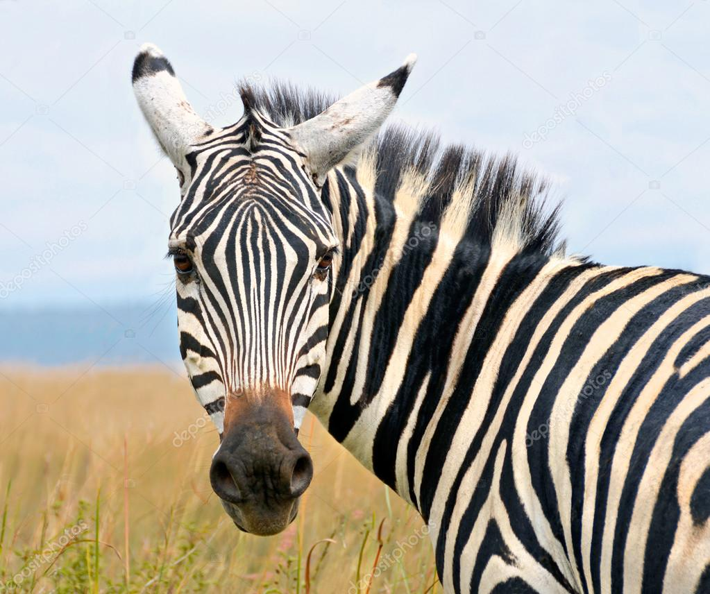 Closeup on beautiful zebra's head looking curiously and standing in savannah grass with sky in the background — Stock Photo #13296397