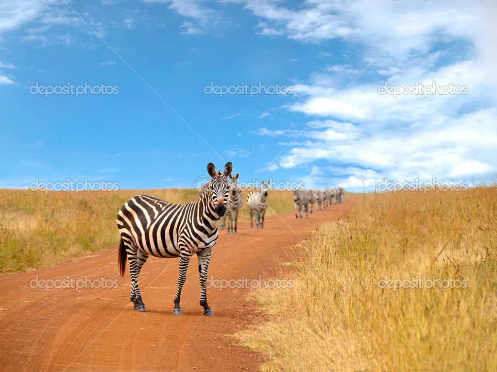 Curious zebras looking and standing on the road in savannah with blue cloudy sky in the background — Stock Photo #13296409