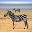 Royalty-Free Stock Photo: Zebra posing and curiously looking on safari in Ngorongoro