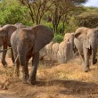 Big group of elephants walking in Lake Manyara - Stock Photo