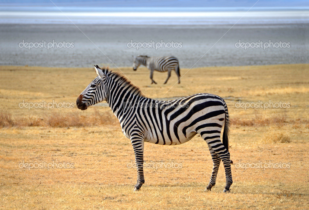 Zebra posing and curiously looking on safari in Ngongoro crater.  Other zebra is walking in distance on dry plains of Ngorongoro crater near Serengeti National Park — Stock Photo #13490391