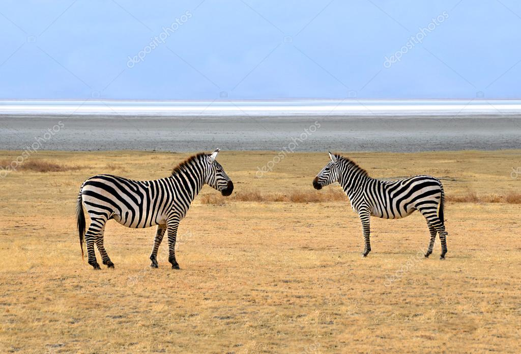 Two Zebra posing and looking at each other while standing on the plains of Ngorongoro crater near Serengeti National Park. — Stock Photo #13490394