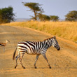 Young Zebra crossing road with Antelope on Safari - Stock Photo