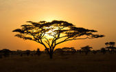 Rising Sun shinning through an Acacia Tree in Serengeti — Stock Photo
