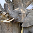 Adult Elephant scratching himself against tree - Stock Photo