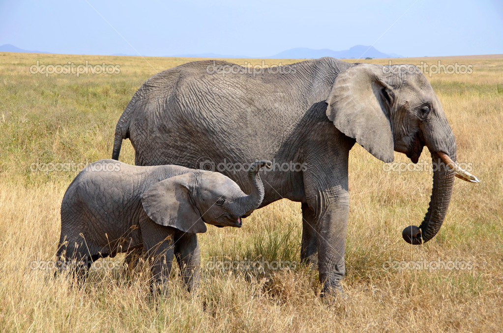 Baby Elephant with Mother Standing  in Dry Grass on Safari in Serengeti National Park — Stock Photo #13835298
