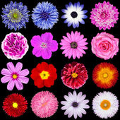 Red, Pink, Purple, Blue and White Flowers Isolated on Black — Stock Photo