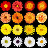 Red, Orange, Yellow and White Flowers Isolated on Black — Stock Photo