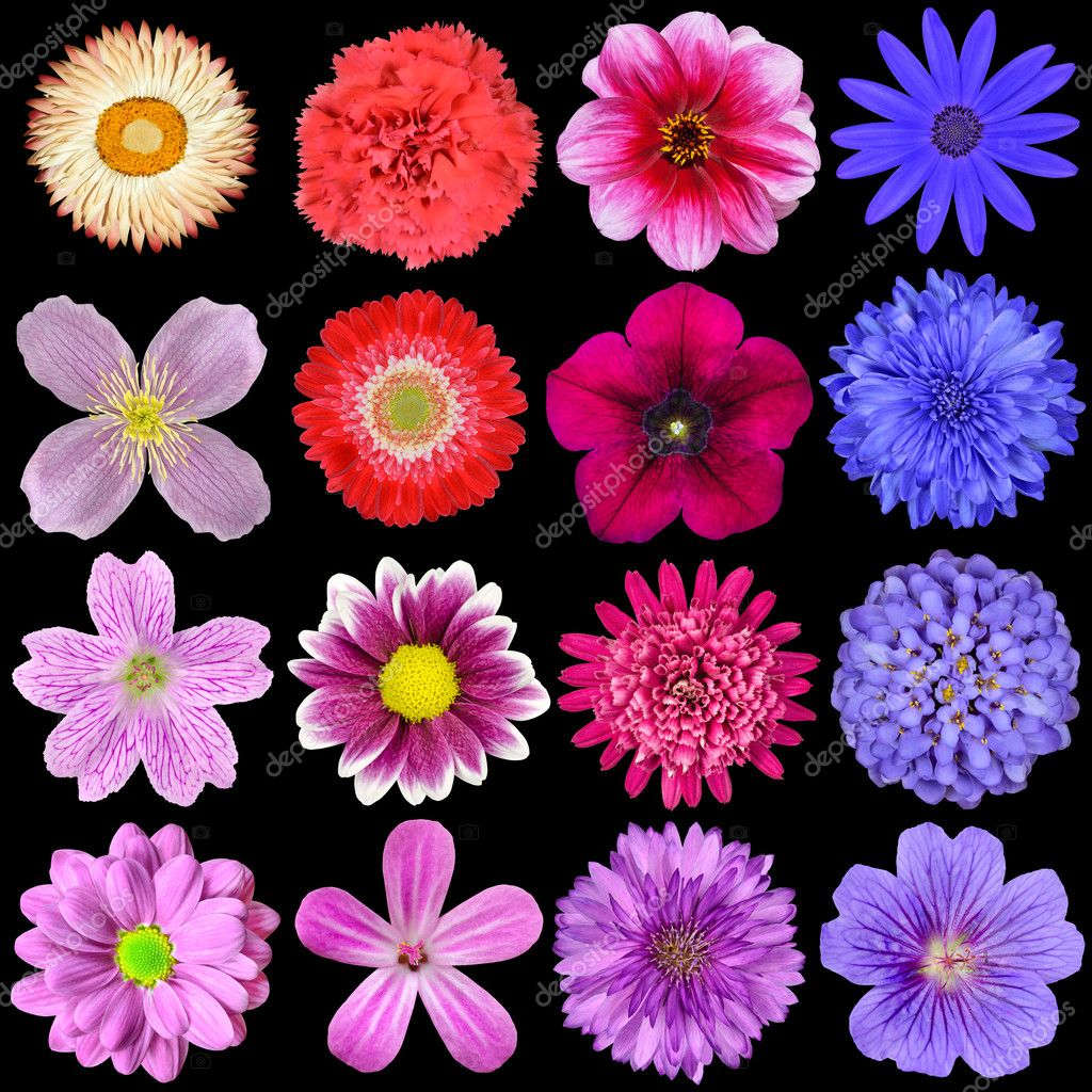Big Selection of Colorful Flowers Isolated on Black Background. Various Red, Pink, Purple, White Colors including rose, dahlia, marigold, zinnia, strawflower, sunflower, daisy, primrose and other wildflowers — Stock Photo #14233233
