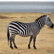 Safari -Zebra posing and curiously looking — Stock Photo #14975711