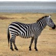 Safari -Zebra posing and curiously looking — Stock Photo