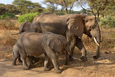 Family of elephants walking along the road — Stock Photo