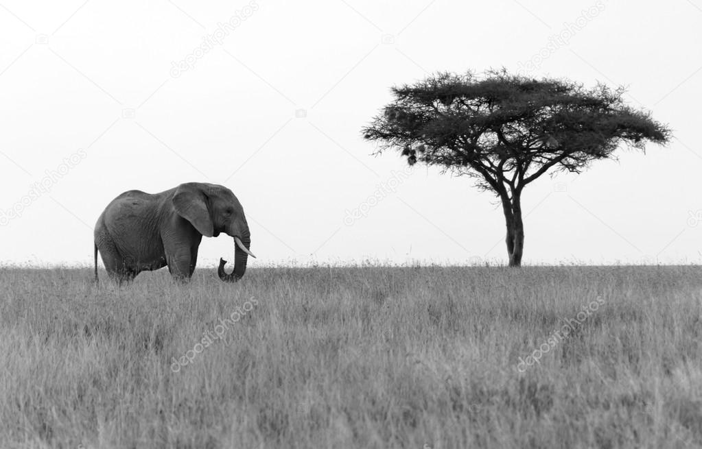 Elephant standing next to Acacia tree on the plains of Serengeti National Park.  — 图库照片 #14975737