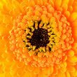 Macro close-up of yellow Gerber Marigold Flower - Stock Photo