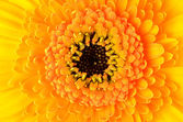 Macro close-up of yellow Gerber Marigold Flower — Stock Photo