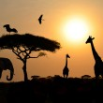 животных силуэты над закат на сафари в Африканской Саванны — Стоковое фото