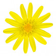 Yellow daisy wildflower Isolated on White — Photo
