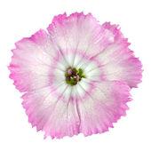 Macro of Pinks White wild flower Isolated on White — Stock Photo