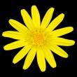 Yellow daisy wildflower Isolated on Black - Stock Photo