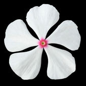 White Periwinkle Flower with Pink Center Isolated — Stock Photo