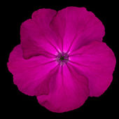 Purple Pinks Dianthus wild flower Isolated on black — Stock Photo