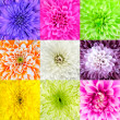 Collection of Chrysanthemum Flower Macros — Stock Photo