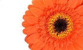 Orange Gerbera Flower Part Isolated on White — Stock Photo
