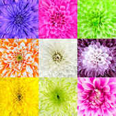 Collection of Chrysanthemum Flower Macros — Stock Photo